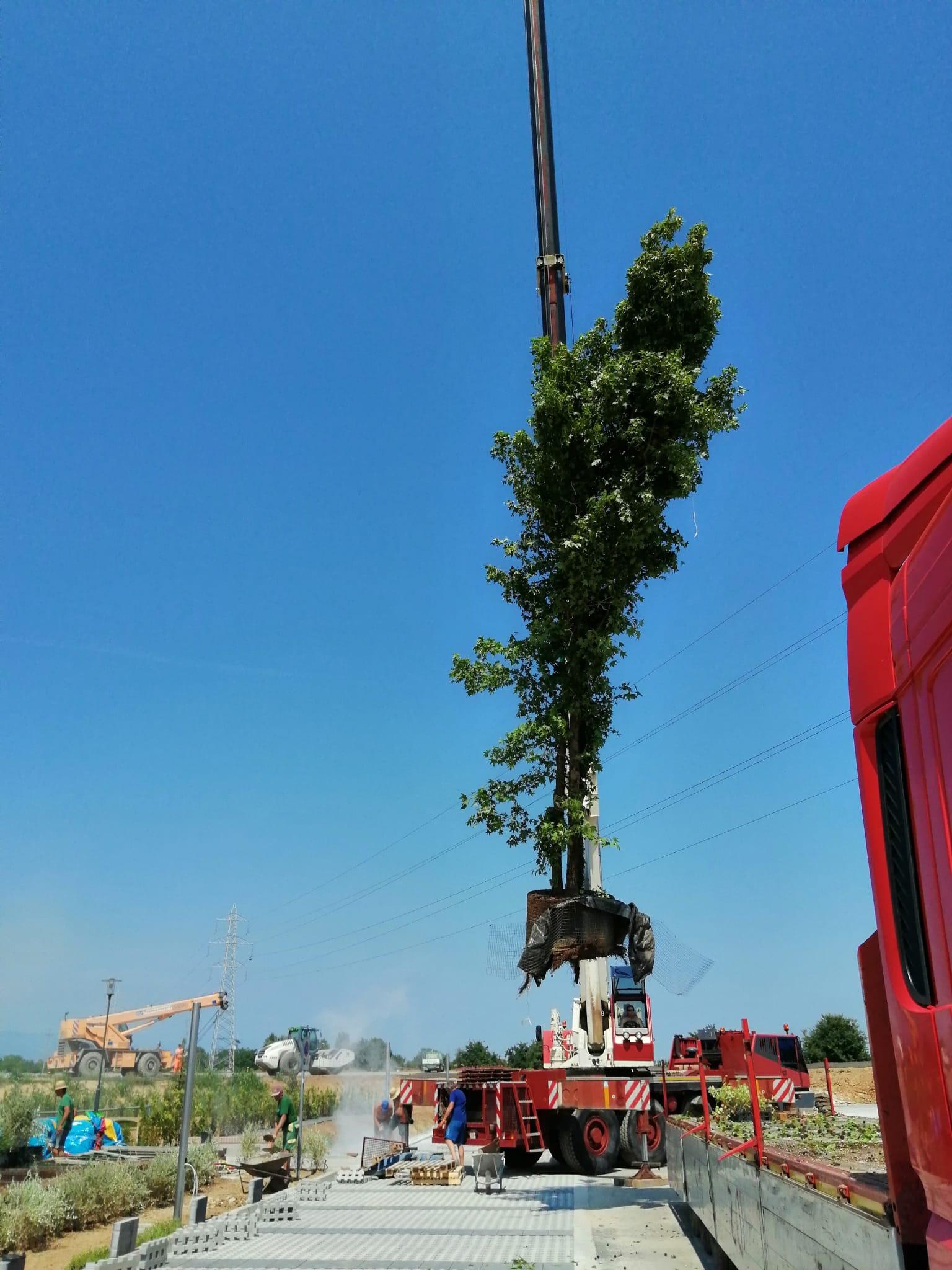 piantumazione di alberi esemplari